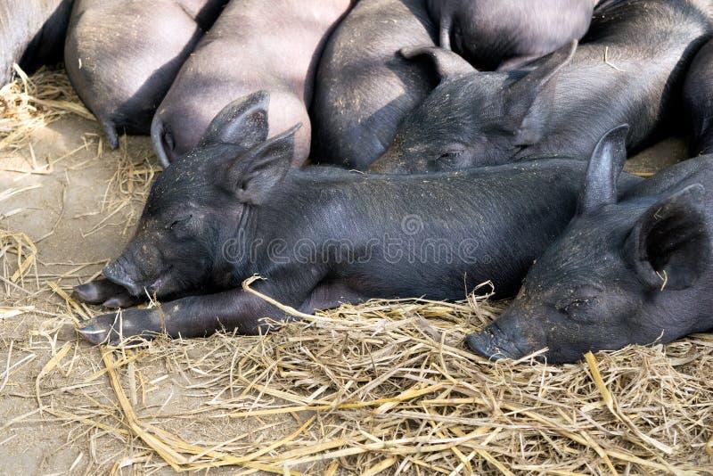 编组睡觉在猪圈的逗人喜爱的婴孩黑色猪 库存照片