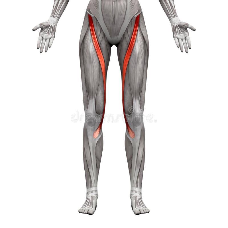 缝匠肌-在白的3D illust隔绝的解剖学肌肉 库存例证