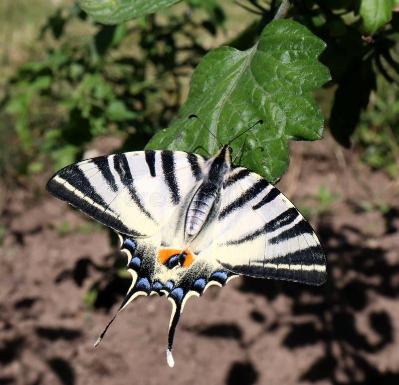 缺乏swallowtail蝴蝶也叫风帆swallowtail或梨树swallowtail拉丁名字iphiclides podalirius endangere 库存照片