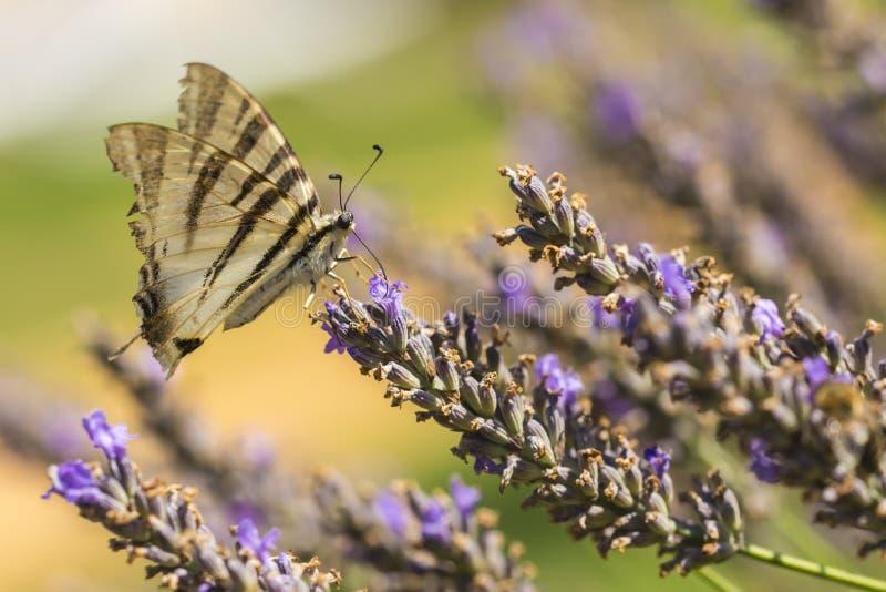 缺乏swallowtail蝴蝶Iphiclides podalirius蝴蝶o 图库摄影