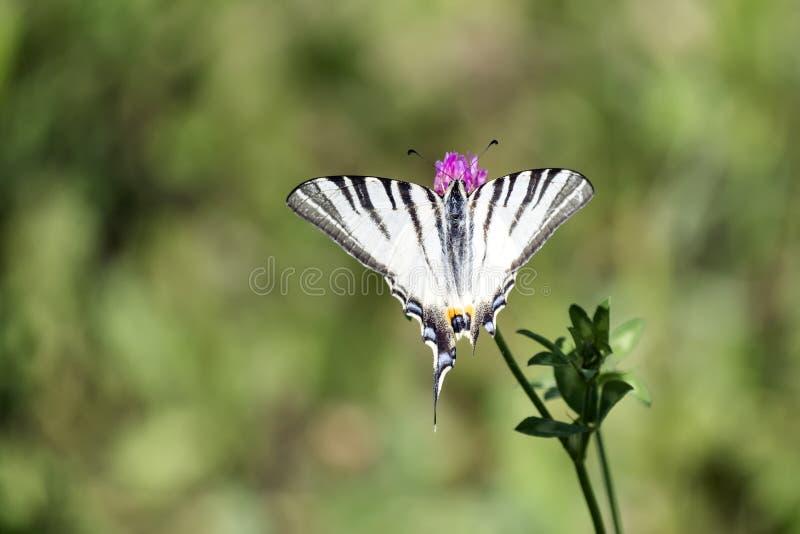 缺乏swallowtail 与雪白基色的蝴蝶大胆地标记用跑从主导的edg的黑象老虎的条纹 免版税库存图片