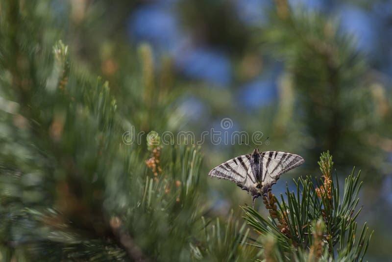 缺乏swallowtail Iphiclides podalirius蝴蝶坐云杉 图库摄影