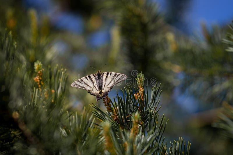 缺乏swallowtail Iphiclides podalirius蝴蝶坐云杉 库存照片