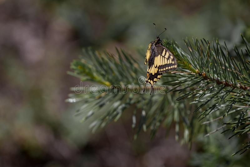 缺乏swallowtail Iphiclides podalirius蝴蝶坐云杉 免版税图库摄影