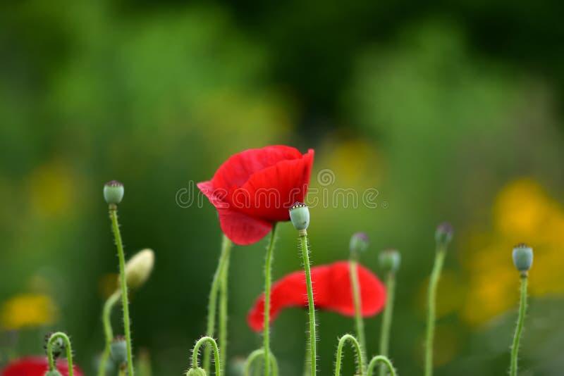 罂粟属rhoeas共同的鸦片,玉米美丽的花上升了,领域鸦片或红色鸦片 免版税库存图片