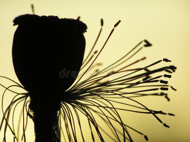 罂粟种子 库存照片