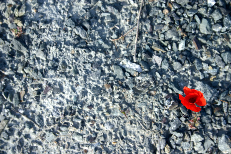 罂粟种子 库存图片
