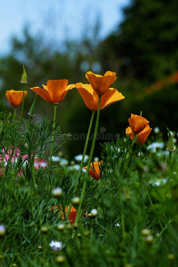 罂粟科在庭院开花 免版税库存照片
