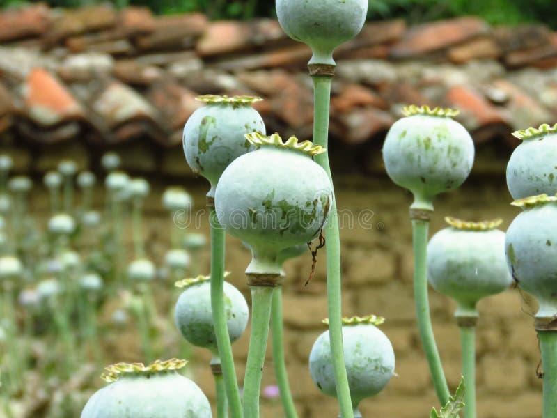 罂粟籽头 绿色罂粟种子荚在庭院里 库存照片