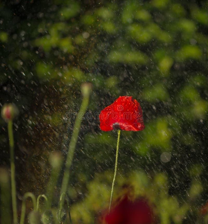 罂粟花与雨背景 免版税库存图片