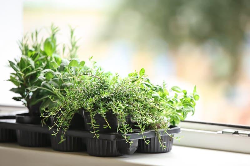 罐用在窗台的新鲜的芳香草本 免版税库存照片
