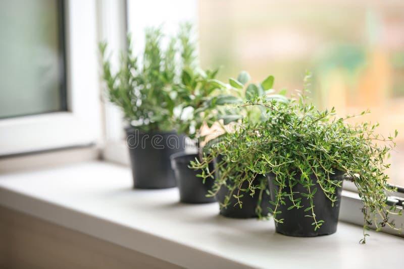 罐用在窗台的新鲜的芳香草本 免版税图库摄影