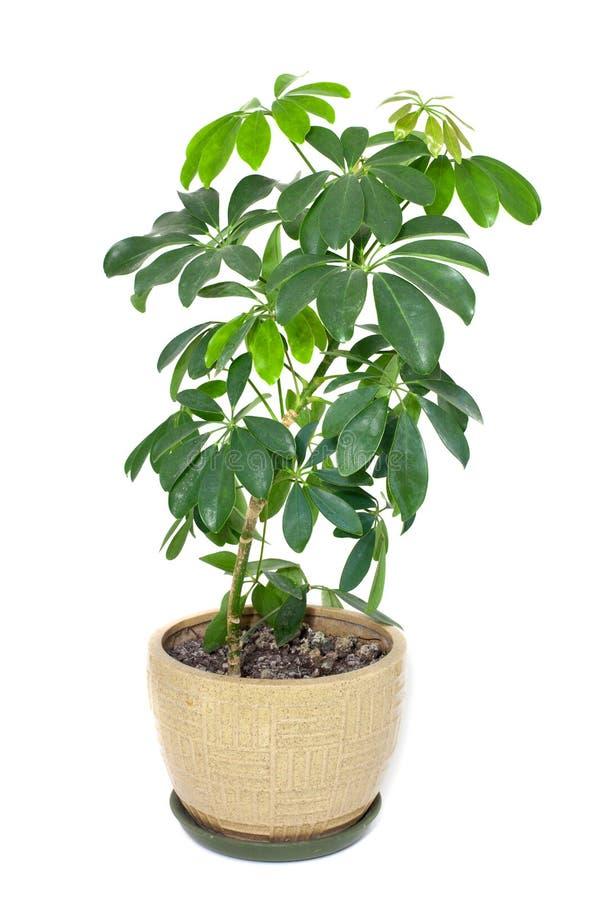 罐的家庭植物 库存图片