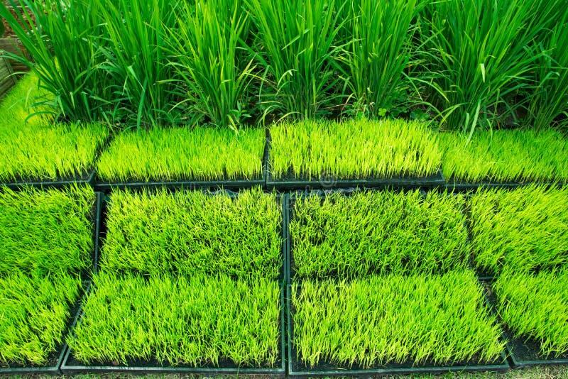 罐的年轻粮食作物示范的 年轻米新芽看法准备好对生长在罐 粮食作物 在罐的年轻绿色米 库存图片