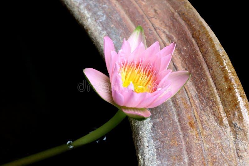 罐的桃红色莲花和莲花植物 库存图片
