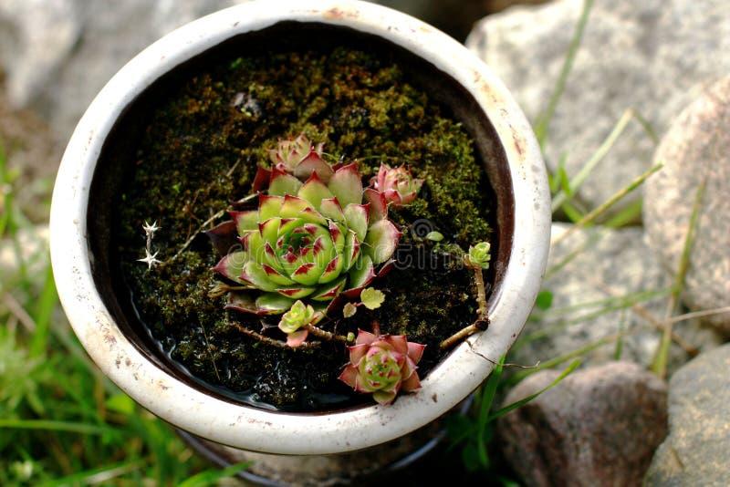 罐的植物 库存照片