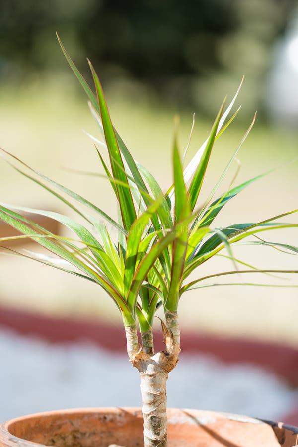 罐的绿色年幼植物 免版税库存图片