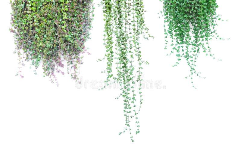罐的绿色盆的植物在白色背景 免版税库存图片