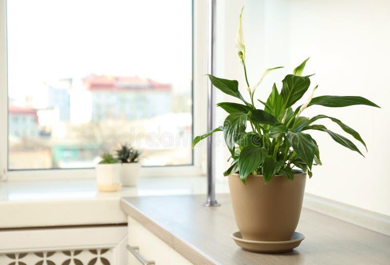 罐的美丽的和平百合植物在窗口附近的桌上在家 免版税库存图片