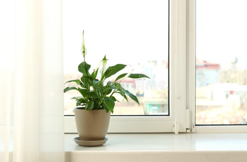 罐的美丽的和平百合植物在窗台在家 免版税库存照片