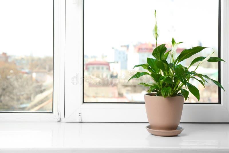 罐的美丽的和平百合植物在窗台在家 库存照片