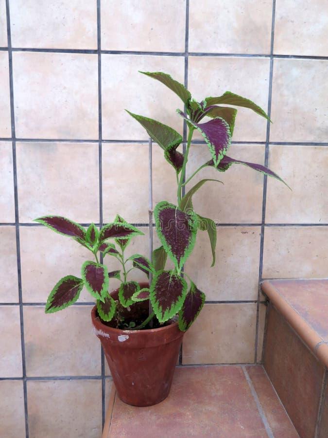 罐的锦紫苏植物在步 库存图片