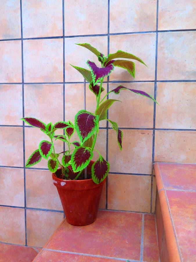 罐的锦紫苏植物在步 免版税库存照片