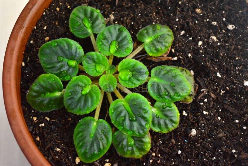 罐的非洲紫罗兰植物 库存照片