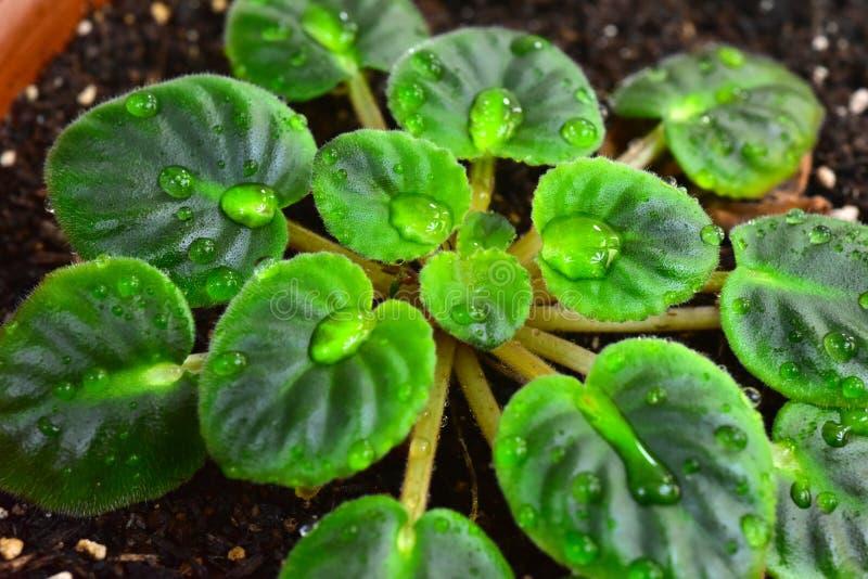 罐的非洲紫罗兰植物 库存图片
