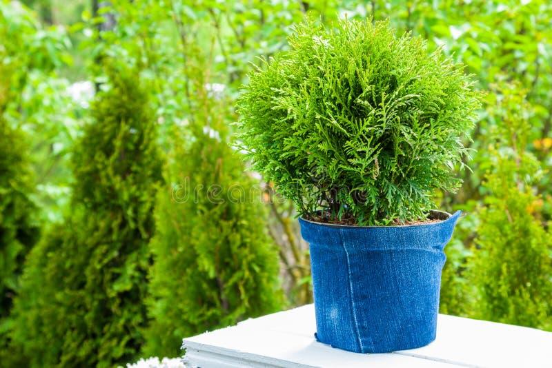罐的,背景的柏植物金钟柏植物 图库摄影