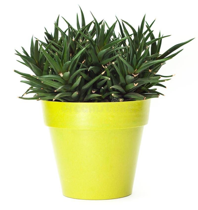 罐的绿色植物 免版税库存照片