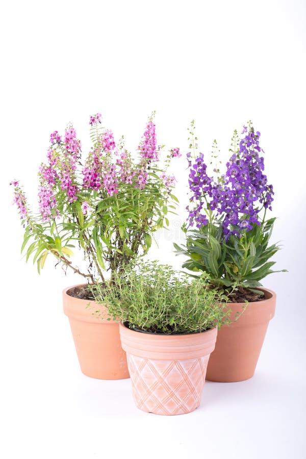 罐花植物春天 库存图片