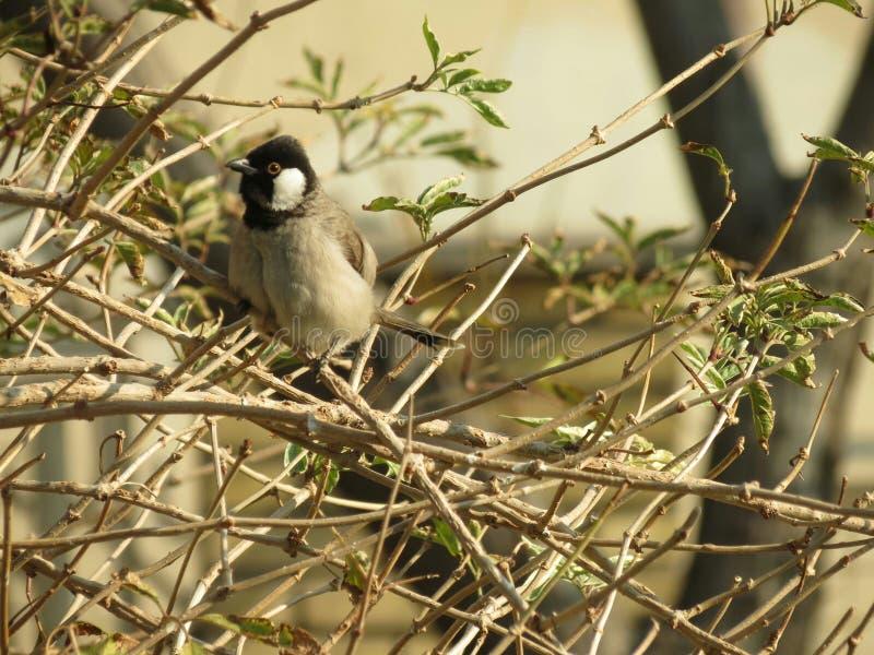 罕见的中东鸟 免版税库存图片