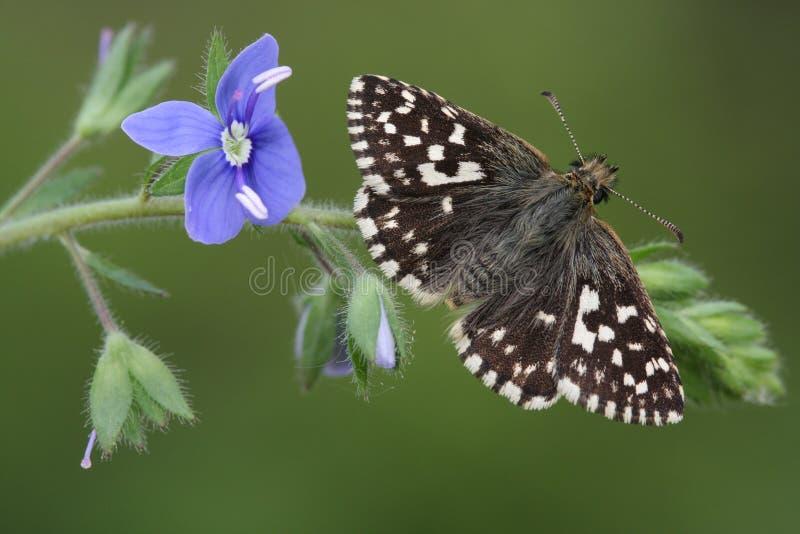 罕见的哭号的船长蝴蝶& x28; Pyrgus malvae& x29;栖息在共同的领域speedwell & x28; Veronica persica, & x29; 免版税图库摄影