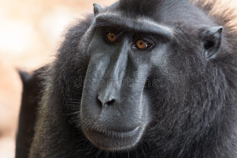 罕见的塞利比斯特写镜头在北部苏拉威西岛,印度尼西亚顶饰短尾猿猕猴属老黑Tangkoko国家公园 图库摄影
