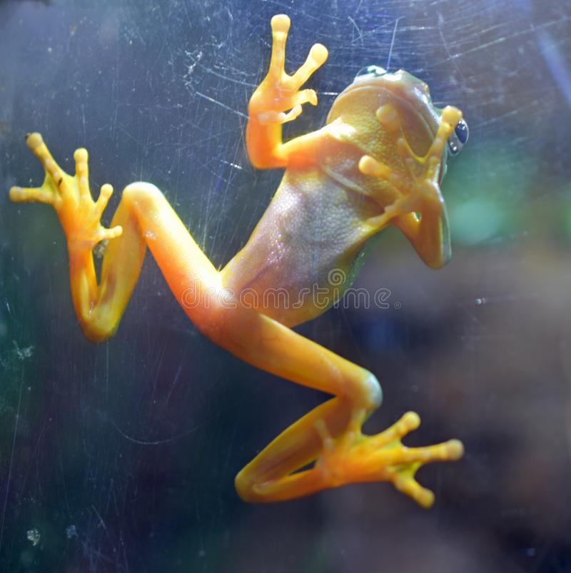 罕见的热带巴拿马金黄青蛙 免版税图库摄影