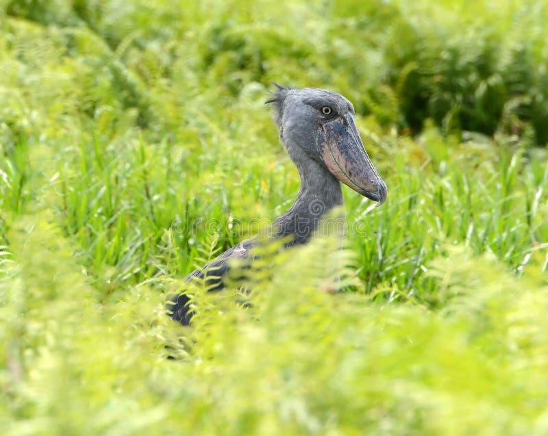 罕见的狂放的Shoebill在乌干达 库存图片