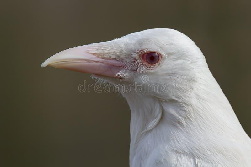 罕见的白变种乌鸦 免版税库存照片