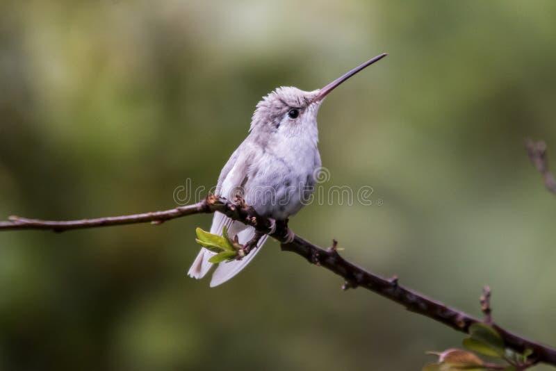罕见的白色leucistic壮观的蜂鸟eugenes spectabilis在哥斯达黎加.