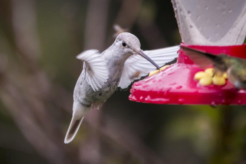 罕见的白色Leucistic壮观的蜂鸟Eugenes spectabilis在哥斯达黎加 免版税库存照片