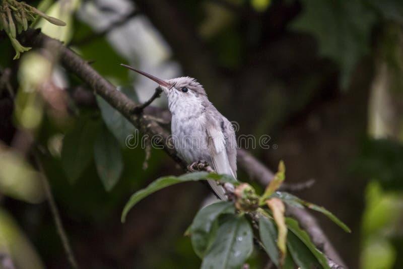 罕见的白色Leucistic壮观的蜂鸟Eugenes spectabilis在哥斯达黎加 库存照片