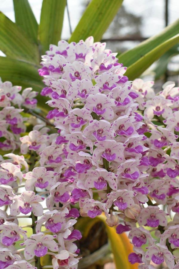 罕见的种类亚洲兰花在清迈,北泰国 免版税库存照片