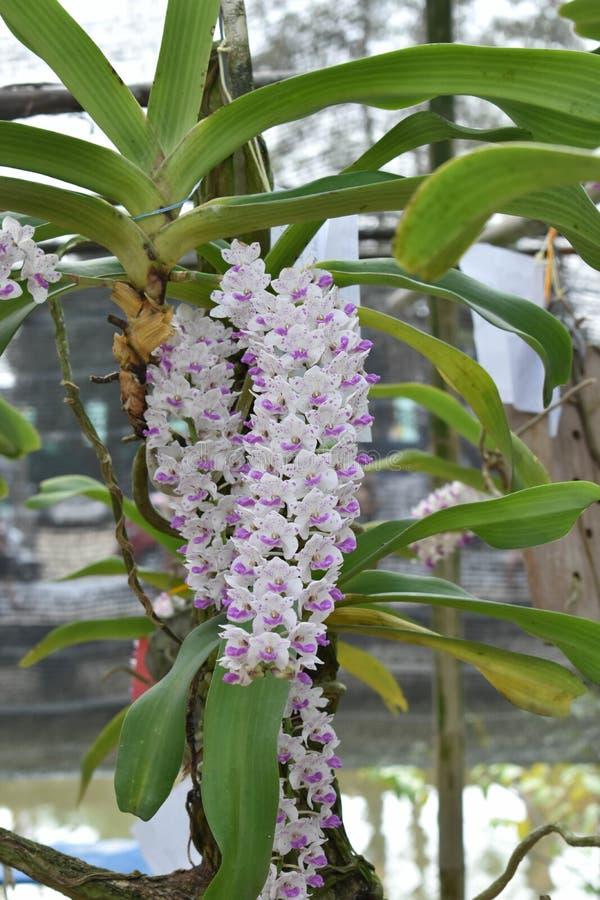 罕见的种类亚洲兰花在清迈,北泰国 免版税库存图片