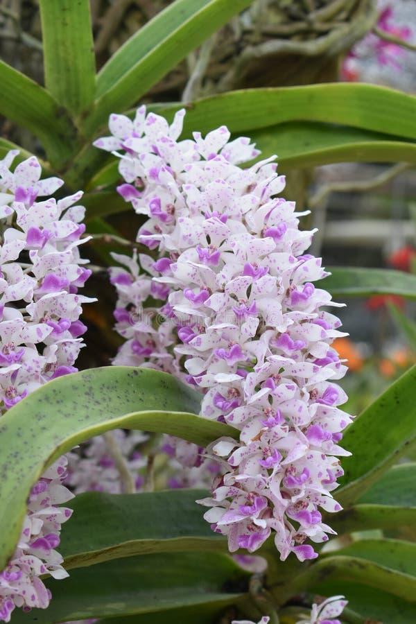 罕见的种类亚洲兰花在清迈,北泰国 库存图片