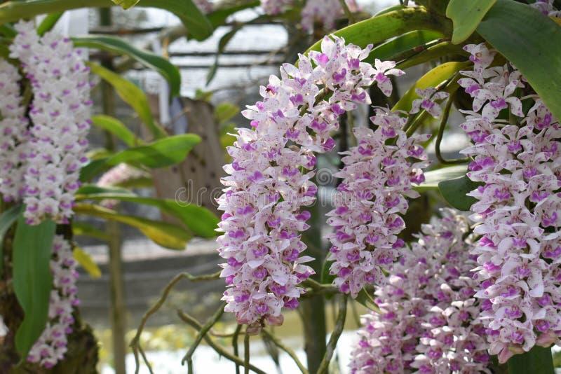 罕见的种类亚洲兰花在清迈,北泰国 库存照片