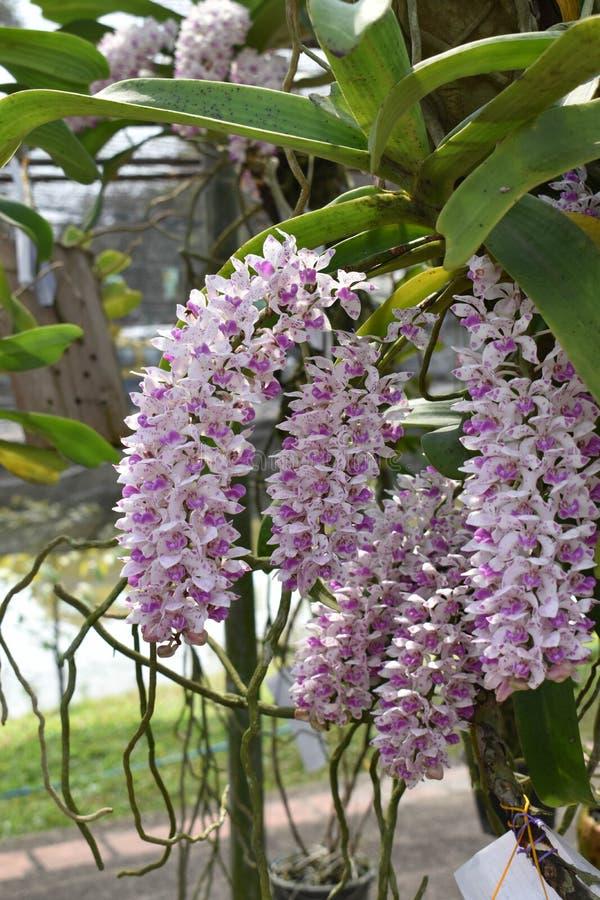 罕见的种类亚洲兰花在清迈,北泰国 图库摄影