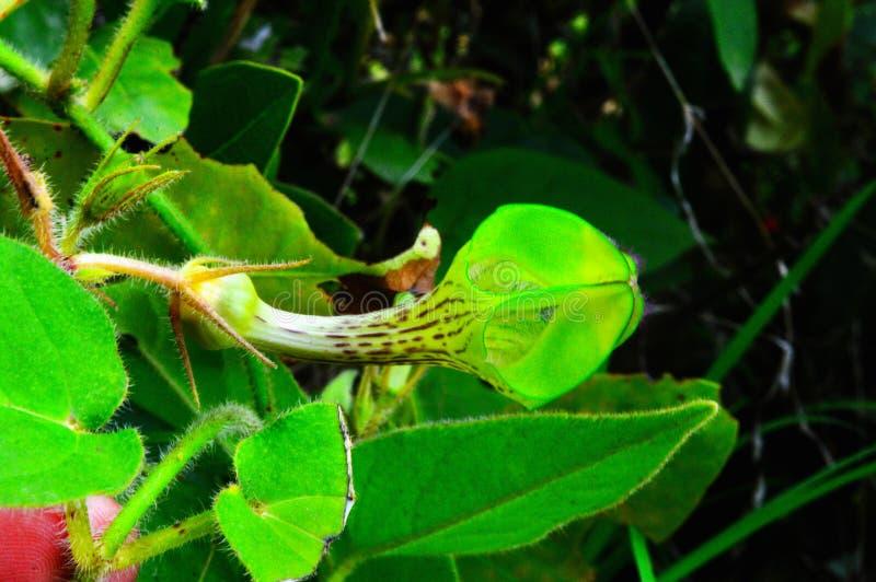 罕见的花- Ceropegia bulbosa侧向视图,萨塔拉,马哈拉施特拉,印度 库存图片