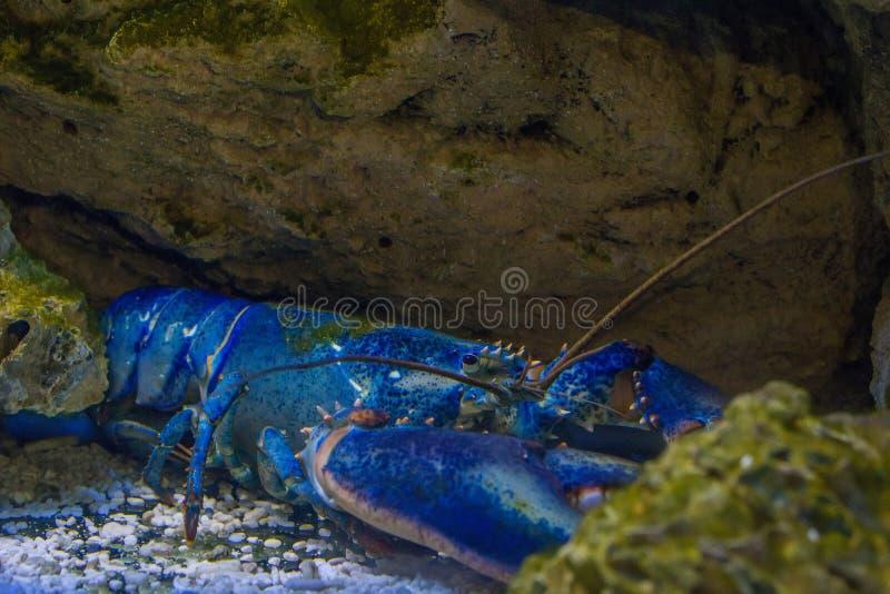 罕见的蓝色龙虾 免版税库存照片