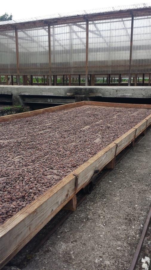 罕见的豆干式法在贝尔蒙特庄园的格林纳达 免版税库存照片