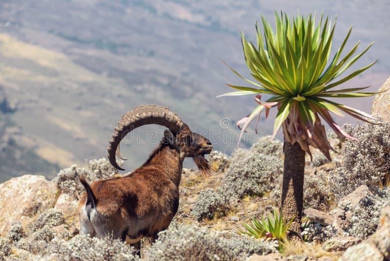 罕见的Walia高地山羊在西米昂山埃塞俄比亚 库存图片
